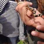 Schlangen in Uruguay - Falsa Coral